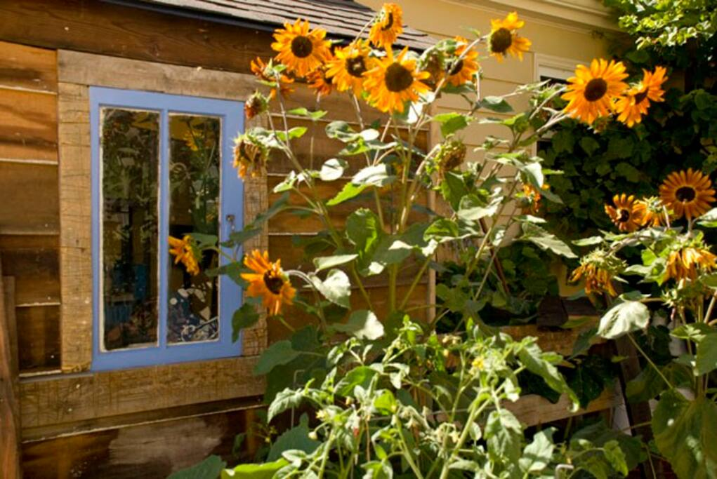 Sunflowers on blue window.