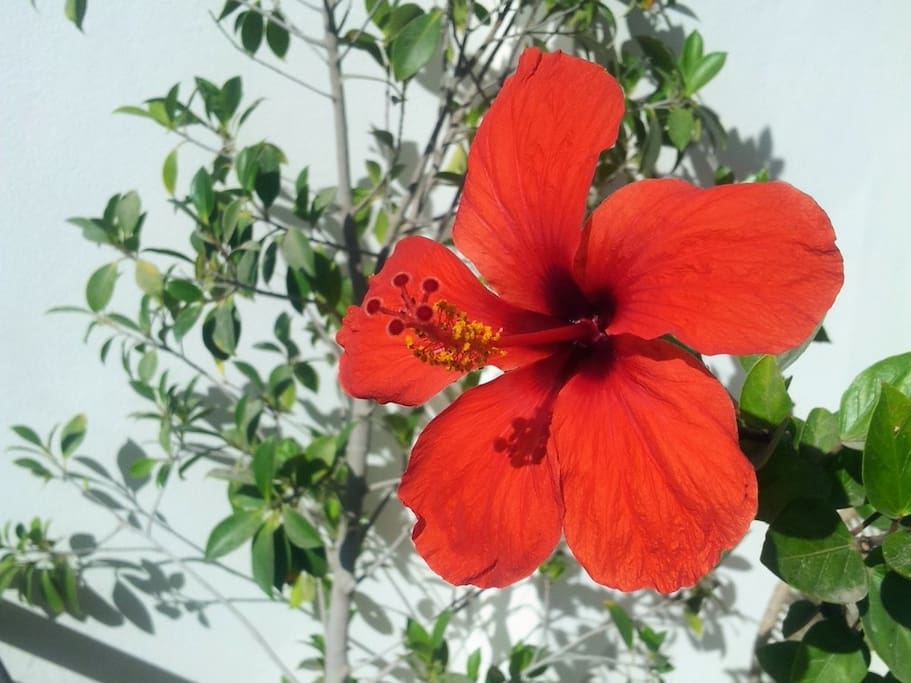 L'hibiscus fleurit pratiquement toute l'année sur notre terrasse