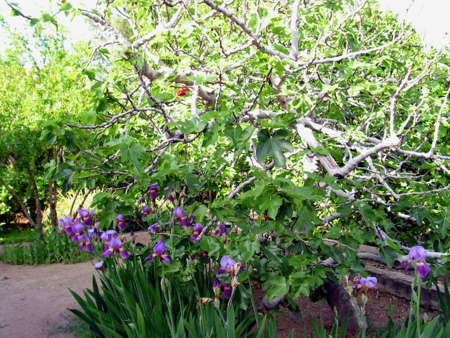 The famous fig tree with irises in bloom