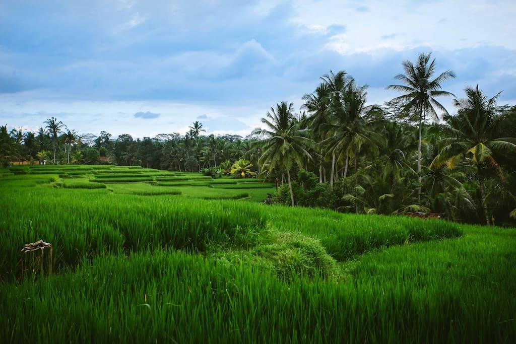 Panoramic Terrace Rice Paddies