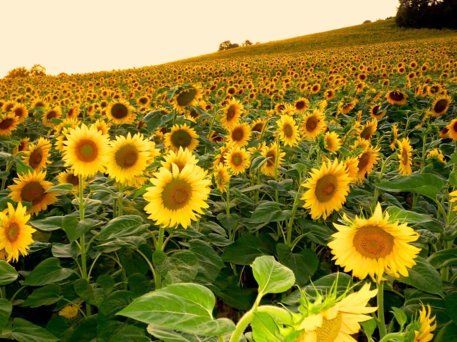Sunflowers fields bloom July through August