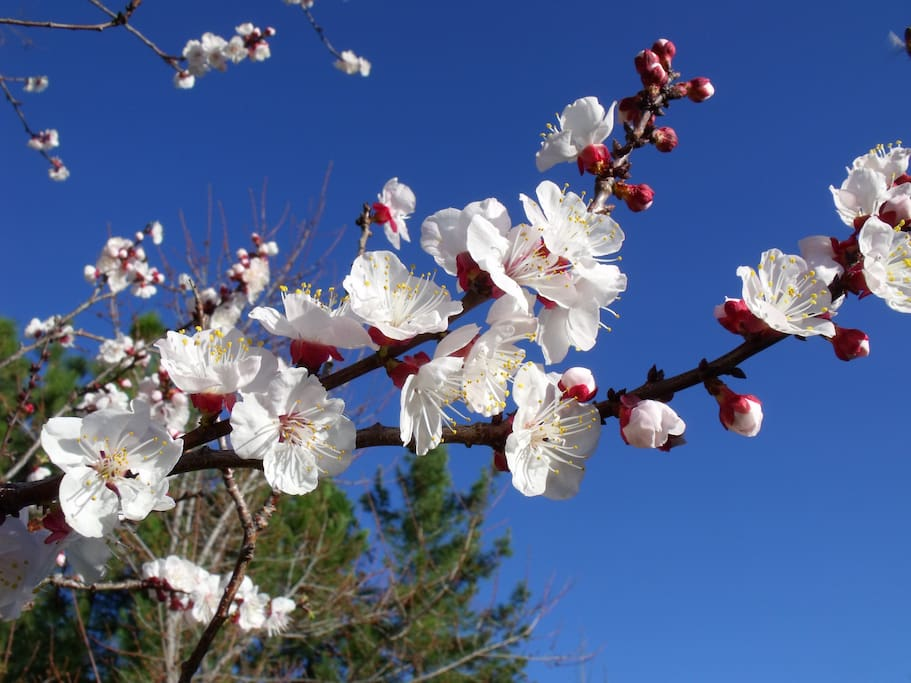 apricot blossoms, spring