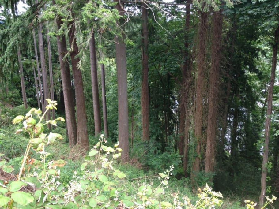 View through fir trees to lake