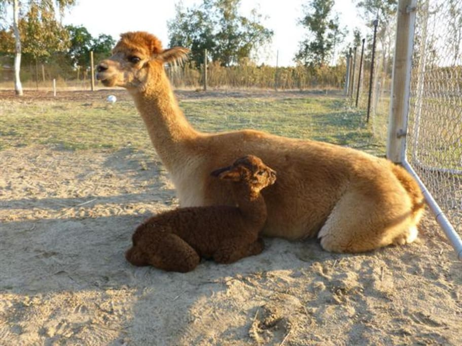 Stay with us on our Alpaca Ranch!
