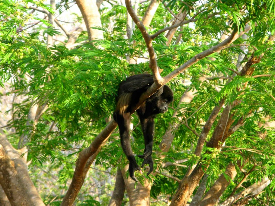 Howler monkey in garden