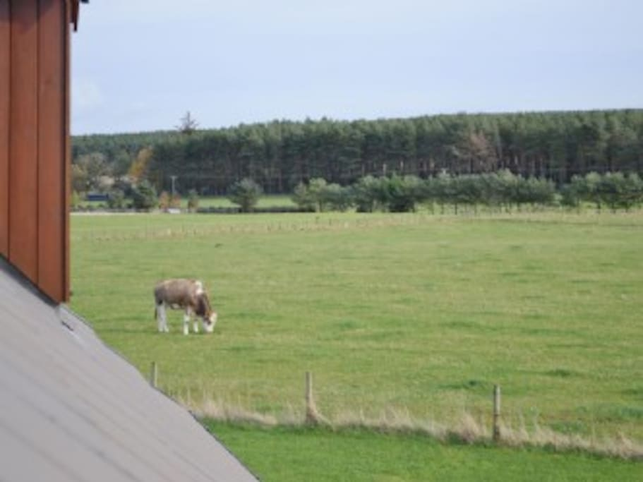 Cows grazing outside house