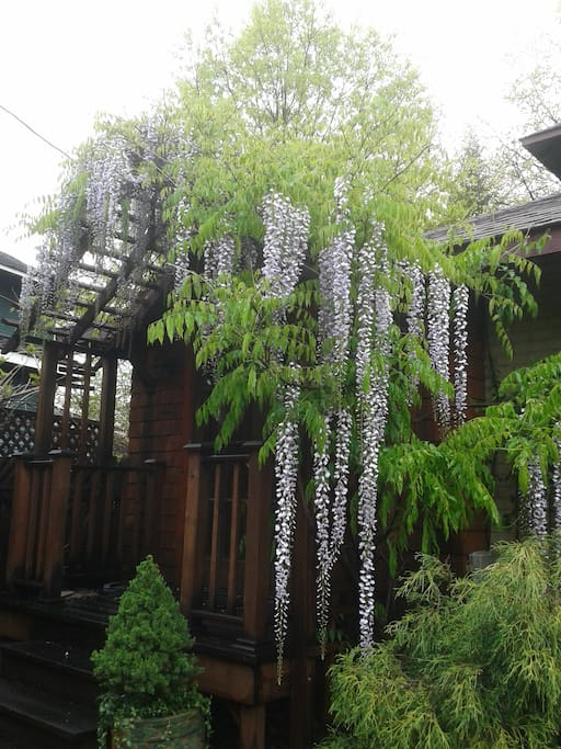 Wisteria in bloom was spectacular!