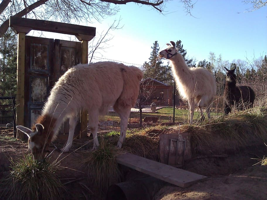 Our llamas graze along the ditch that is sometimes full of water - a nice stream along our yard