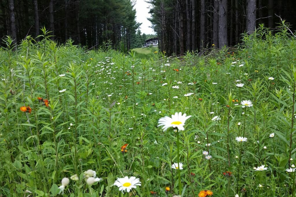 Back forest with view of cabin in the background. Lots of wild flowers!