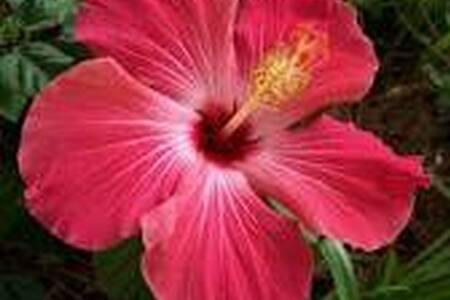 Akamai Hibiscus Cabana Qn.bd/pvt.Ba - Bungalow
