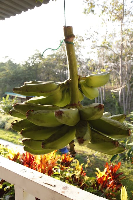 Bananas, papaya and mango free to pick in the garden for a fresh smoothie