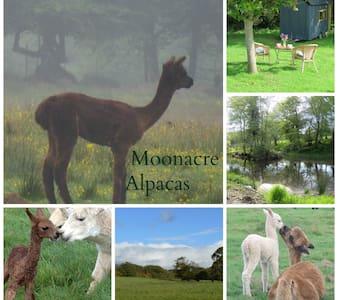 Moonacre Alpacas - our caravan - Camper
