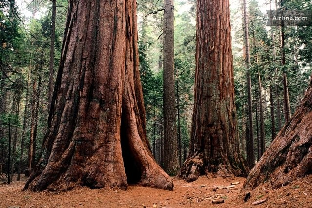 Giant sequoias at Calaveras Big Trees State Park, a national park alternative
